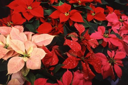 Multi-colored poinsettia flowers